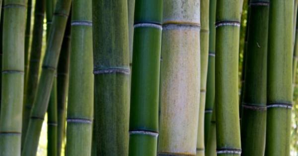 fare business con le piantagioni di bamb se ne parla a