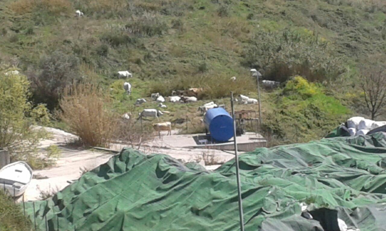 Mucche lasciate pascolare nei pressi di una discarica. Scattano i controlli