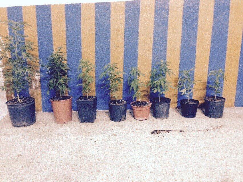piante_marijuana
