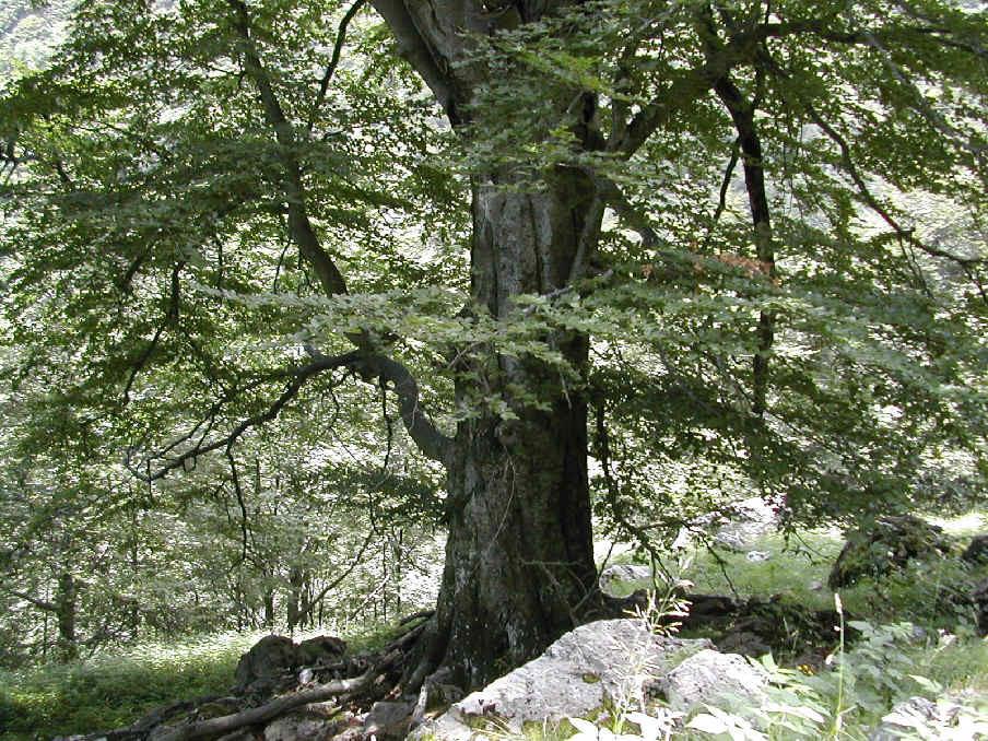 """Censimento alberi monumentali, il Codacons Vallo di Diano: """"Comuni rendano noti gli elenchi"""""""