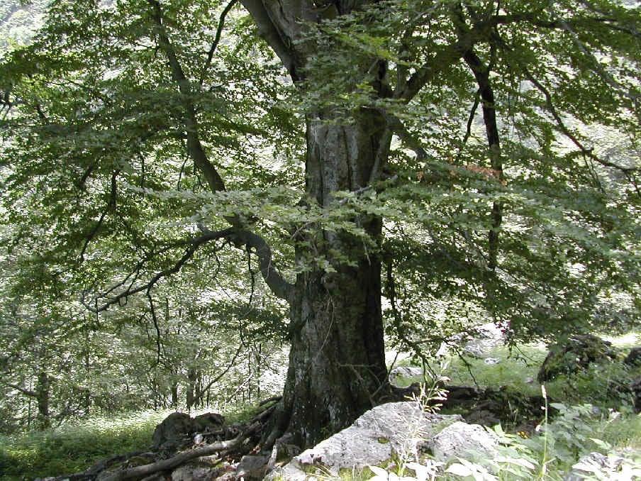 alberi_monumentali