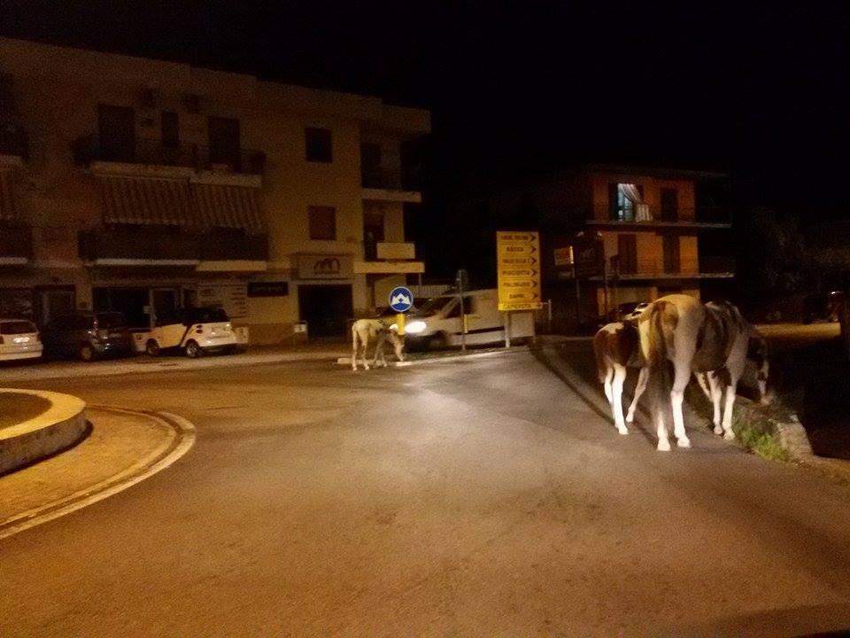 Agropoli, nuovo allarme per la presenza di cavalli incustoditi in strada