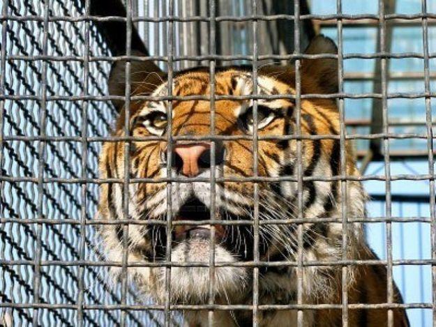 tigre_gabbia