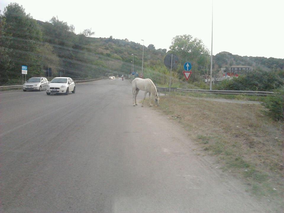 cavallo_cilentana