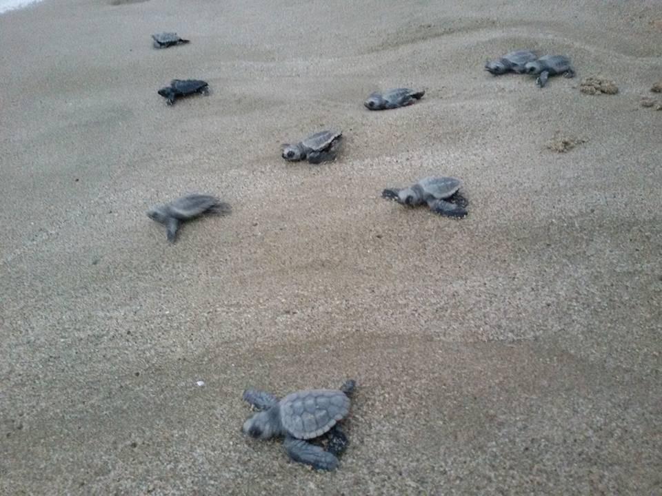 Cilento: nate altre 33 tartarughe!