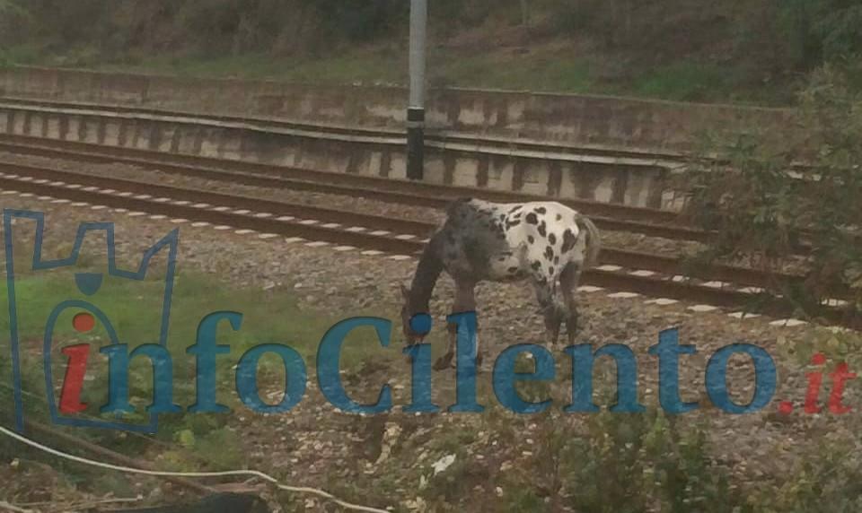 Agropoli: ancora cavalli vaganti, questa volta si è rischiata una tragedia