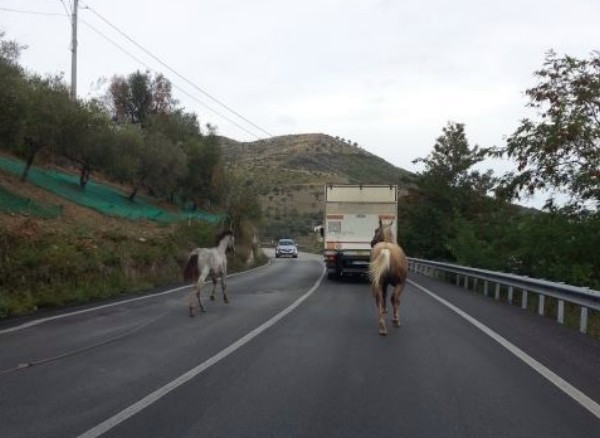 Cavalli sulla strada, rischiato l'incidente