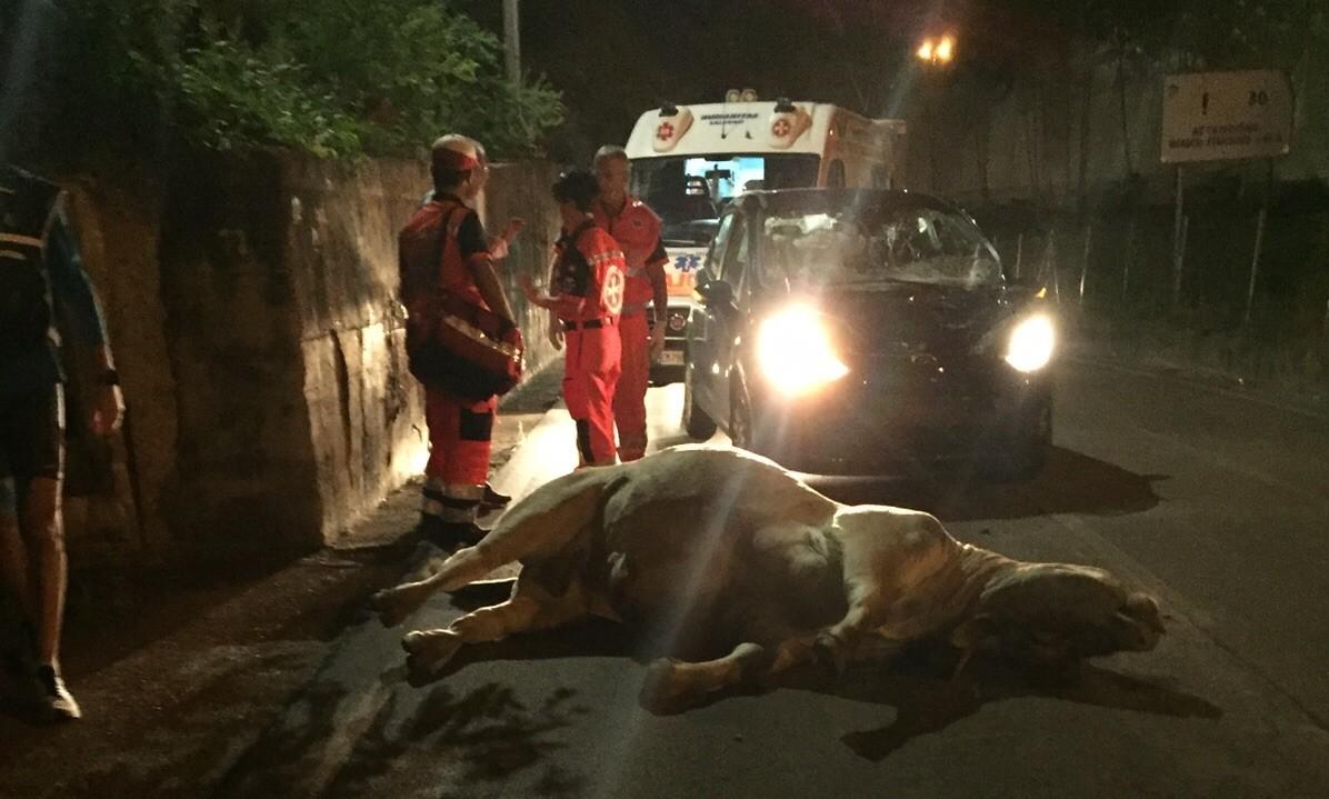 Shock a Salerno, auto investe e uccide un toro | FOTO