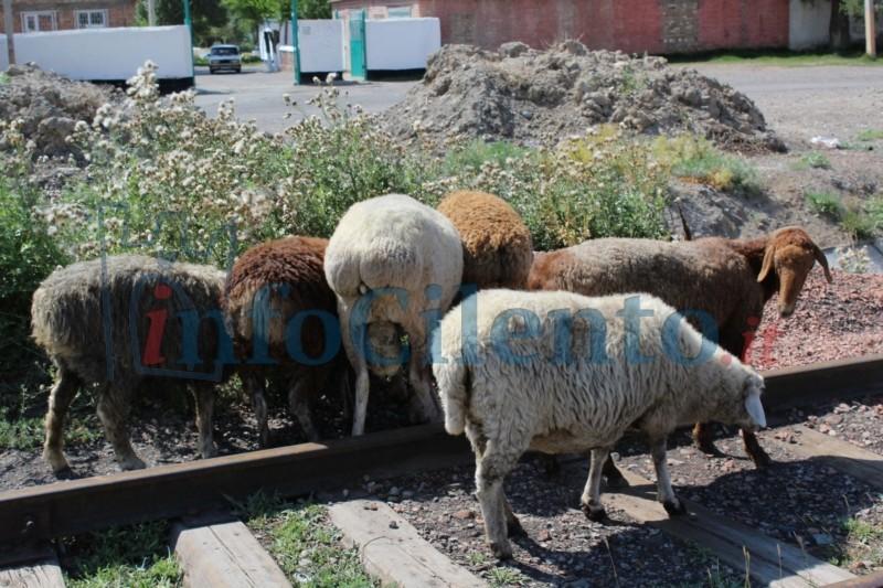 pecore_binari
