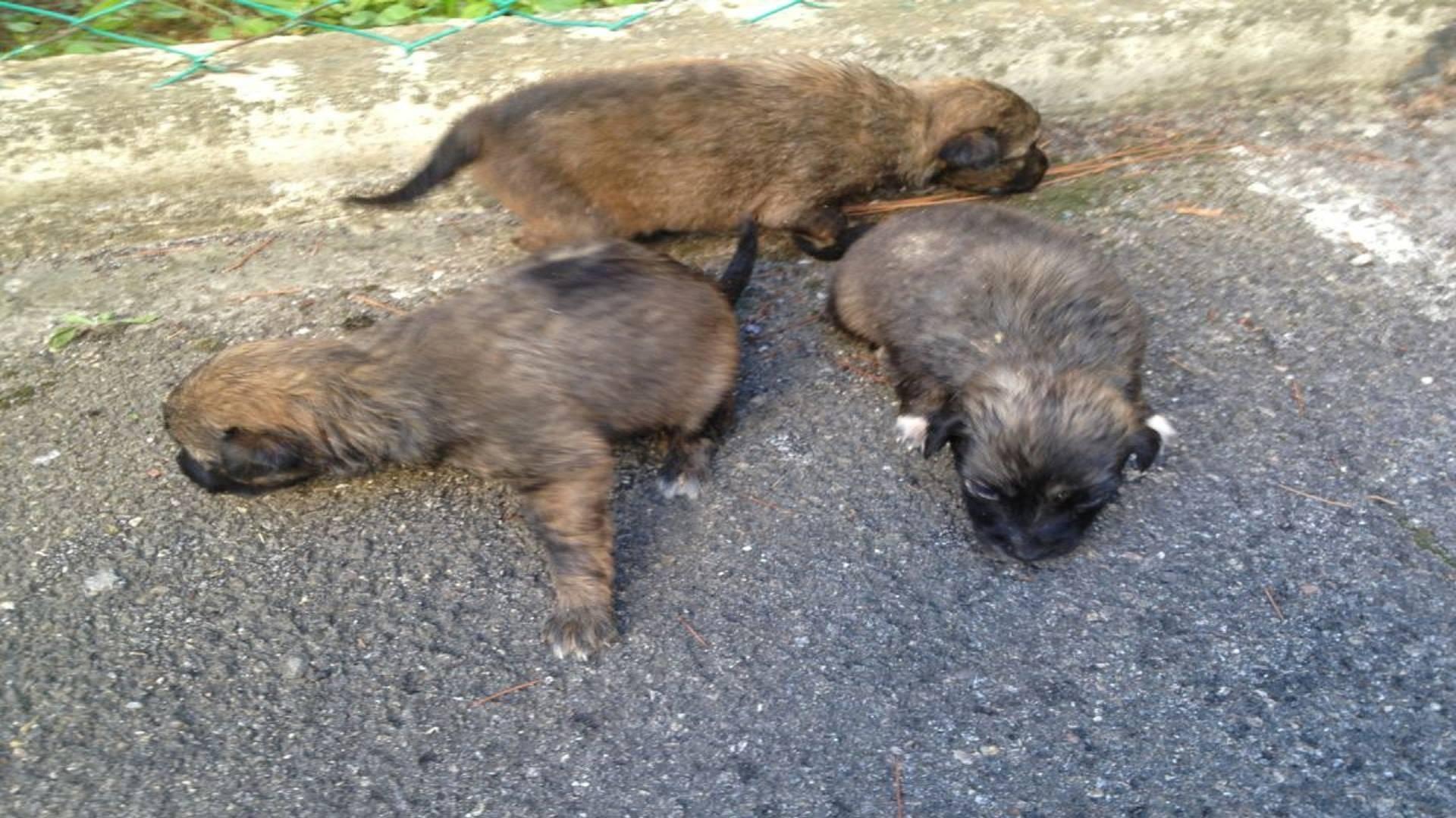 Getta cuccioli di cane in un dirupo, incastrato dalle telecamere