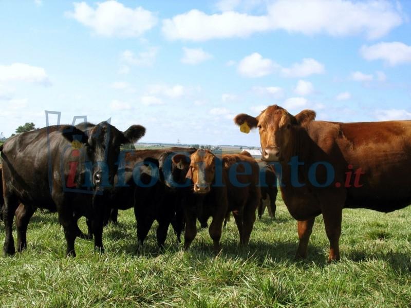 Bovini al pascolo in un'area soggetta a riforestazione, denunciato un pastore