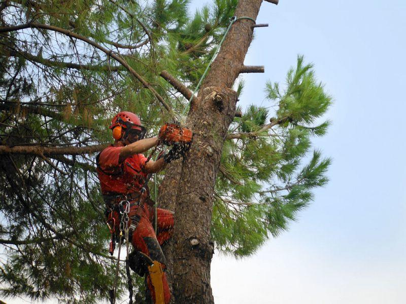 Cilento, pericolo per la circolazione: abbattuti pini secolari lungo la SS18