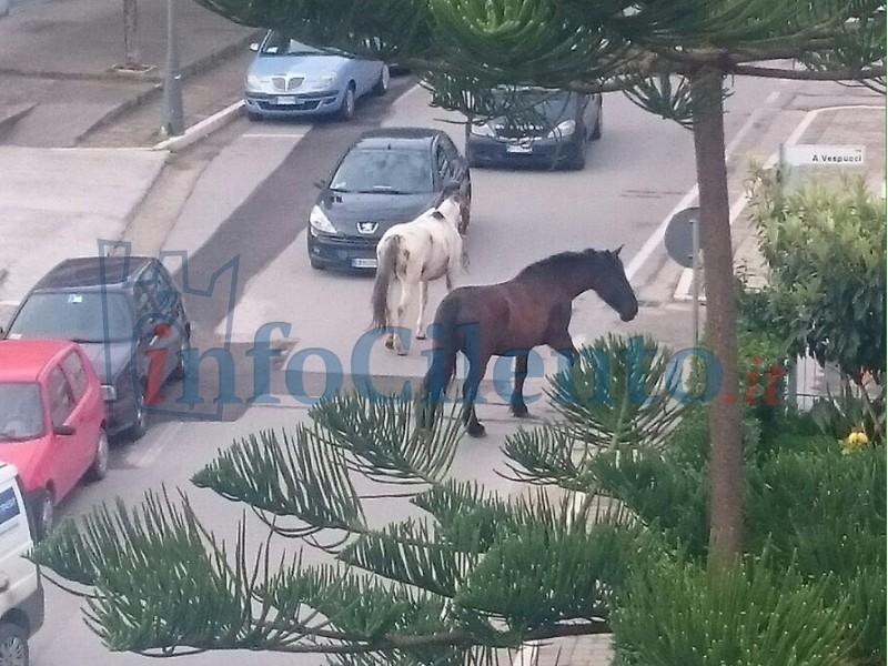 cavalli_agropoli
