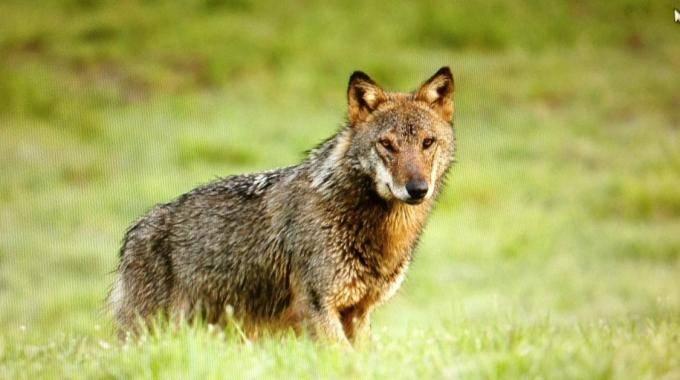 La 'Telemetria' per lo studio dei lupi. Un corso nel Cilento