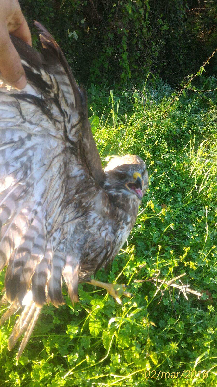Agropoli, salvato un rapace trovato ferito | FOTO