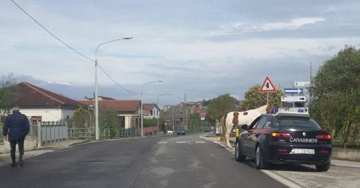 Agropoli, ancora cavalli vaganti: intervengono i carabinieri