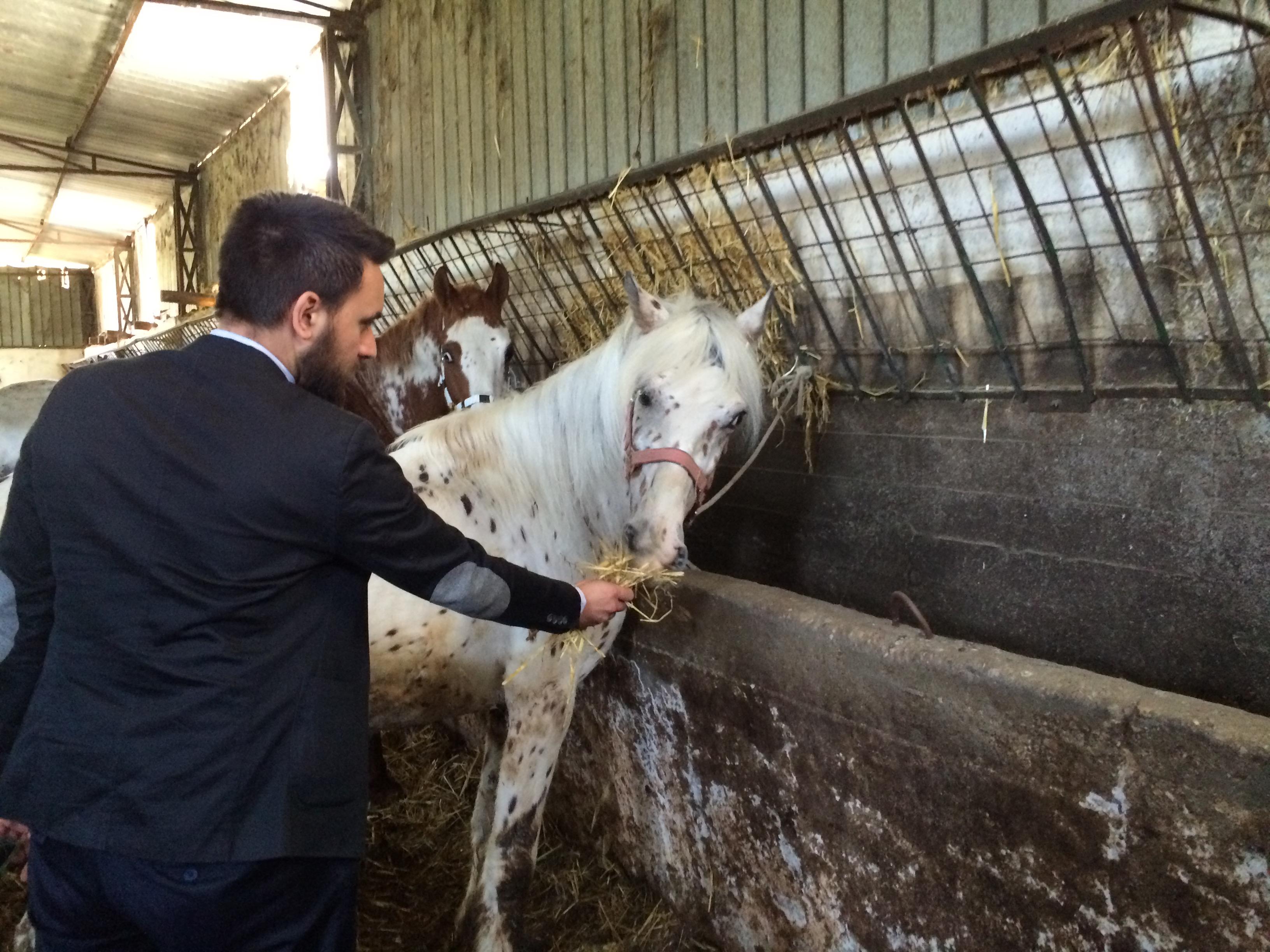 Agropoli, addio cavalli vaganti