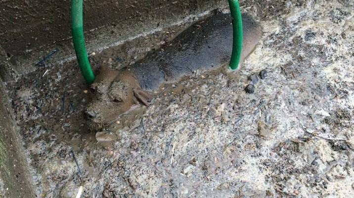 Cilento: cagna finisce in un depuratore, salvata dai vigili del fuoco