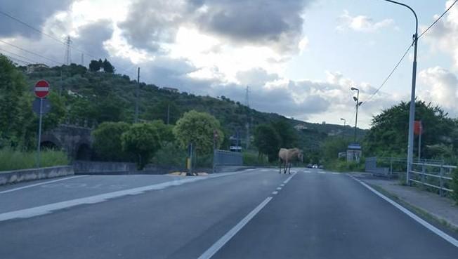 cavalli_vaganti