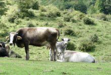 Photo of Felitto: 60 mucche uccise, Codacons chiede chiarimenti