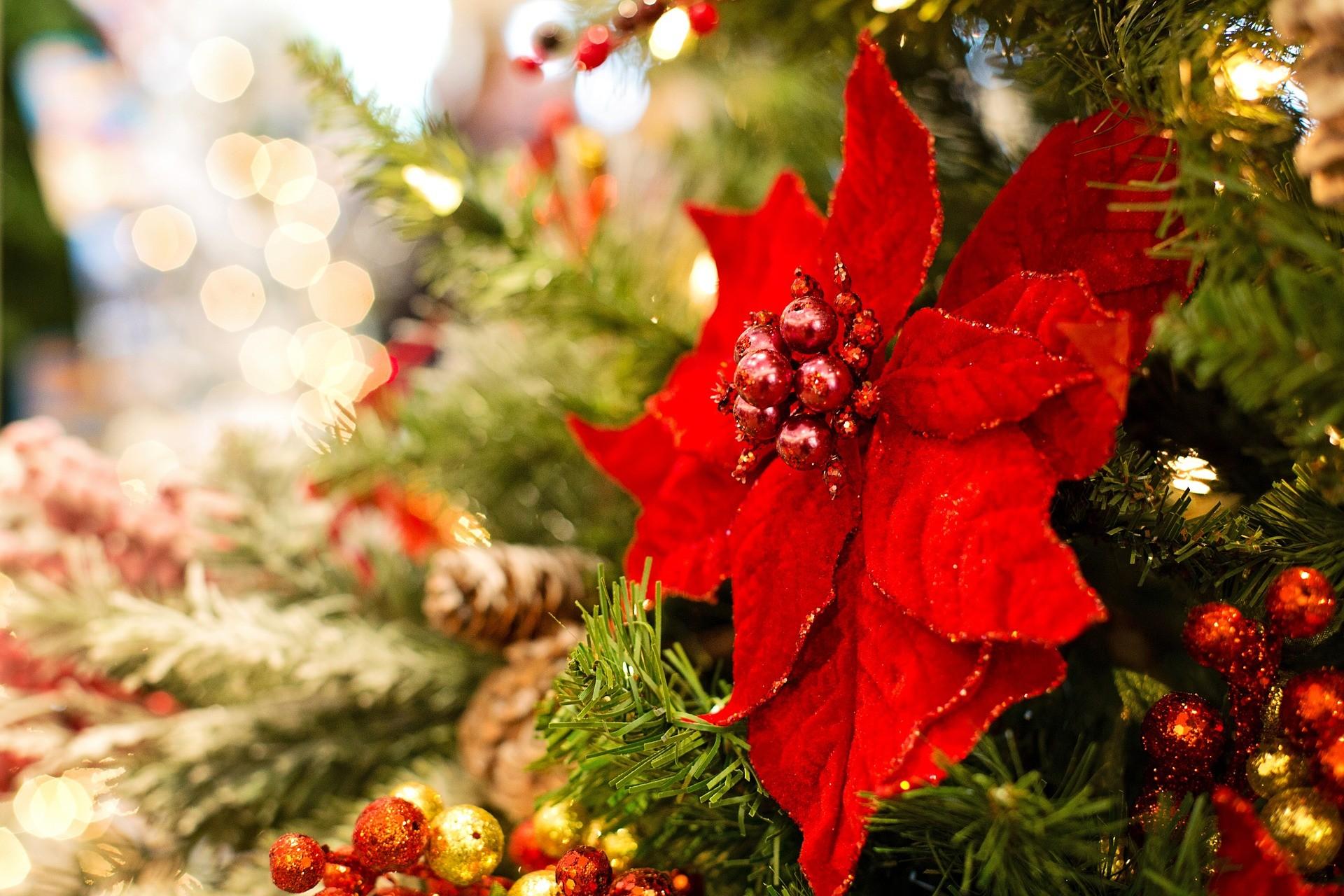 Pianta Ornamentale Con Bacche Rosse le cinque piante ornamentali del natale – info cilento