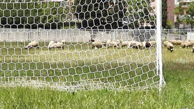 Photo of Monte San Giacomo: niente più pecore per tosare il campo sportivo!