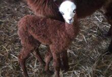 Photo of Si cerca un nome per l'alpaca dell'Oasi Alento