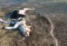 Photo of Capaccio Paestum: carcassa di bufalino rinvenuta sul litorale