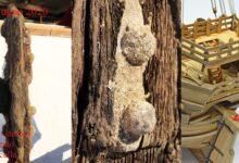 """Photo of Agropoli, la """"Cocca"""" genovese (XV secolo) ci regala parte del Timone di poppa"""