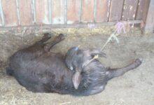 Photo of Piana del Sele, reati ambientali e maltrattamento di animali: denunciato imprenditore
