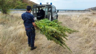 Photo of Scoperta piantagione di cannabis nel salernitano