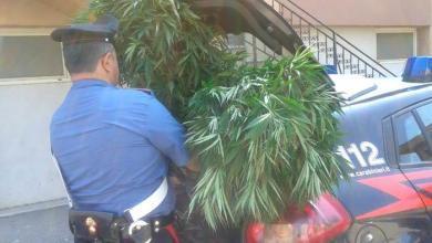 Photo of Caselle in Pittari: trovato con piante di marijuana, arrestato